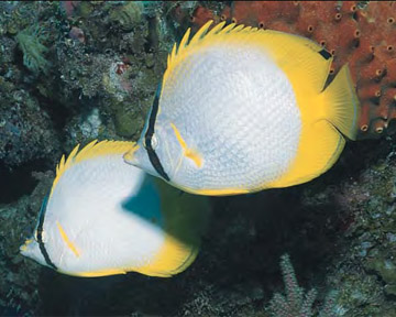 AWARE Fish ID - Butterfly Angel Fish
