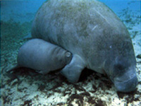 Manatee Cow and Calf - Crystal River, FL