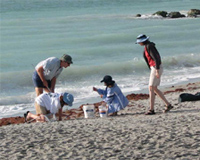 Shark Tooth Hunt, Megalodon Tooth, Venice, FL