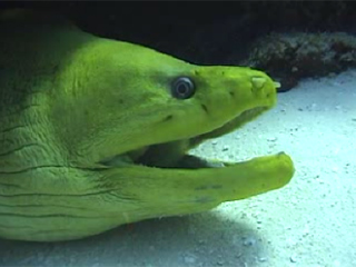 Photoshop Elements II - Green Moray Eel